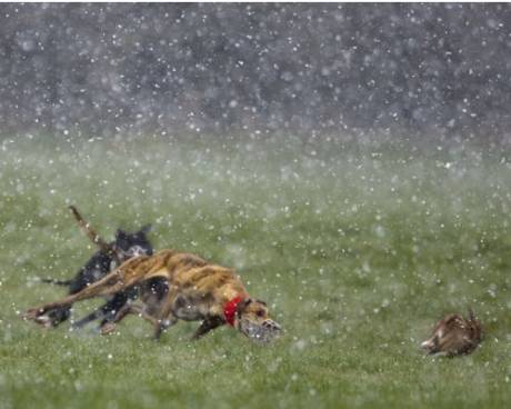 Hares can be coursed in the worst weather conditions...